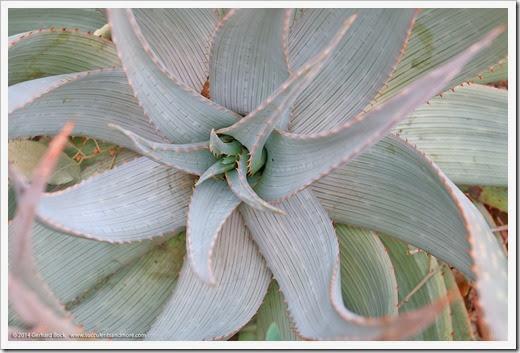 140202_UCD_Aloe-hereroensis_001