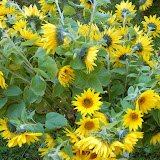 2. Sonnenblumenfest