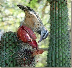 Cactus wren eating organ pipe fruit 10-18-2010 11-02-18 AM 2638x2504