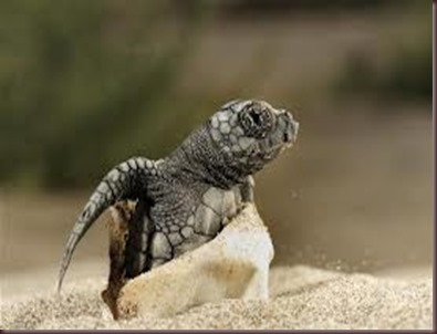 Amazing Pictures of Animals Caretta Caretta  Loggerhead sea turtle.Alex (5)