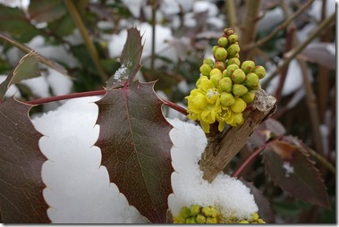 ヒイラギメギ、 学名:Mahonia aqnifolium、英名:Oregon grape root