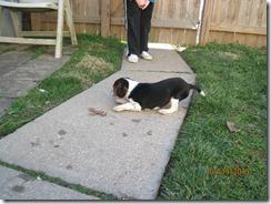 jan 2013 & puppy Scout 058