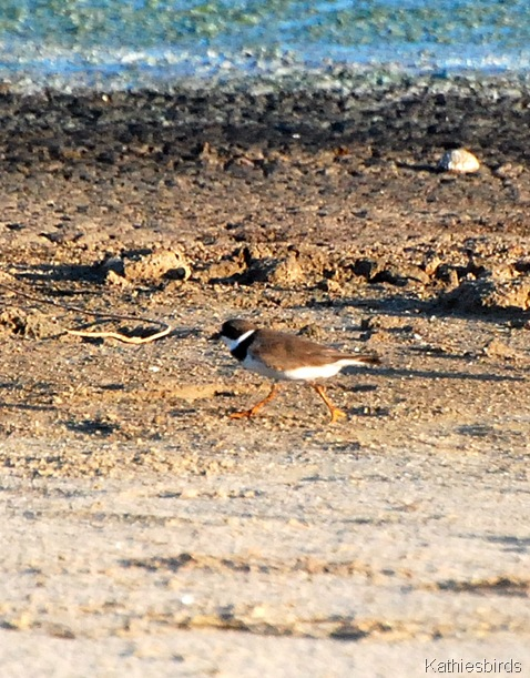 14. Semipalmated plover-kab