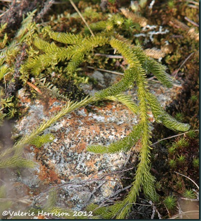 10 stags horn clubmoss