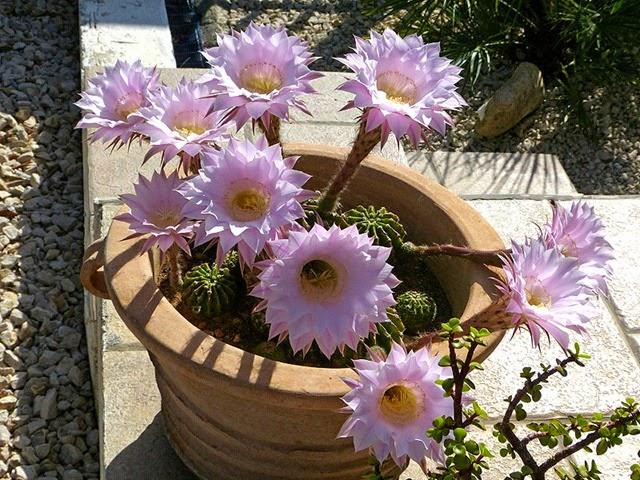 Rhodos Journal: Kaktusblüte