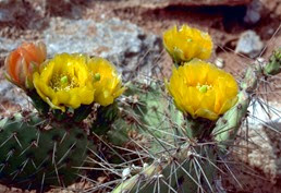 prickly-pear-cactus-plant-with-big-thorns-flowering