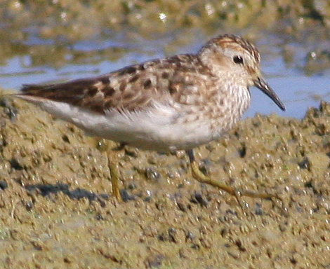 8-16-09, fish hatchery, migrating Least Sandpiper, 9:31 a.m.