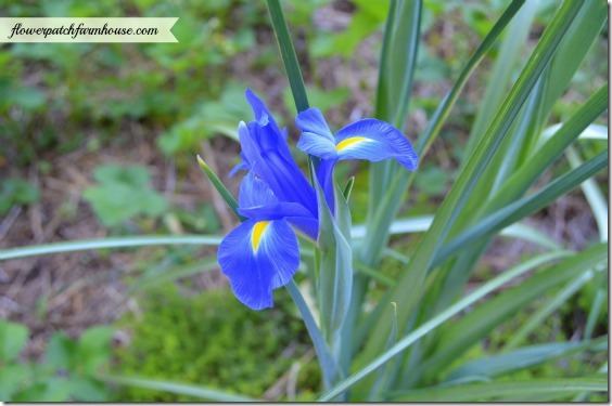 blue dutch iris560