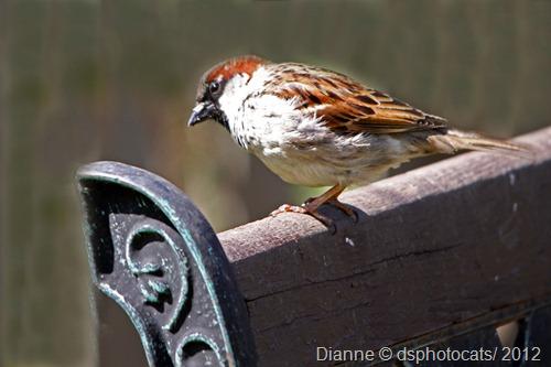 IMG_1296 House Sparrow1