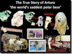 arturo_world saddest polar bear