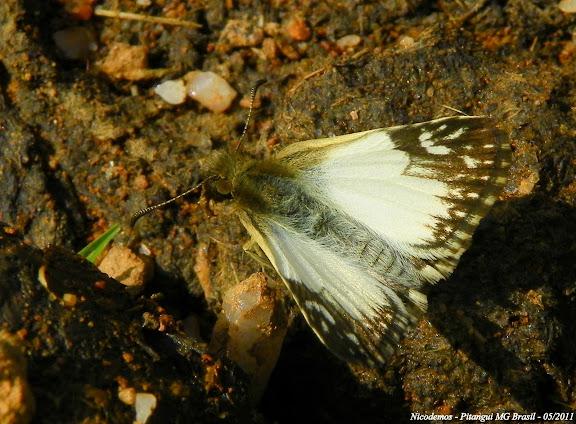 Heliopetes omrina (BUTLER, 1870). Pitangui (MG, Brésil), 21 mai 2011. Photo : Nicodemos Rosa