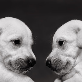 Boni VS Dogie by Benaya Agung - Animals - Dogs Puppies