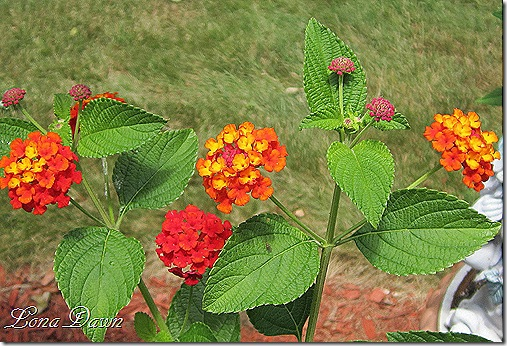 Lantana_Dallas_Red