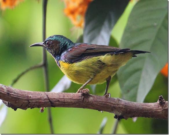 brown throated sunbird on Saraca caulifora