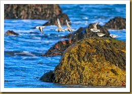 untitled Sanderling flying of rock with Dunlin on Rock D7K_8269 November 03, 2011 NIKON D7000