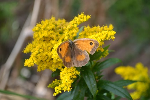 Golden Rod - Solidago Canadensis with a Gatekeeper Butterfly in an English Garden