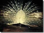 Peafowl-Peacock