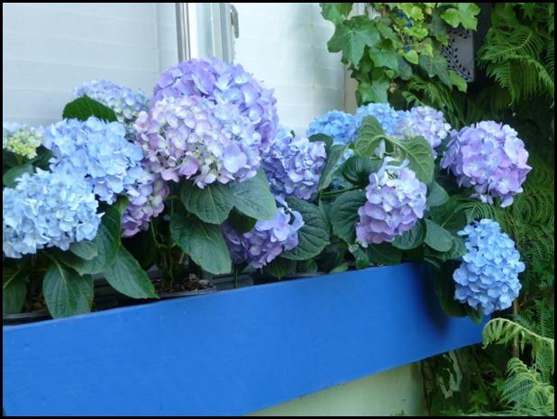 Blue hydrangeas 003 (800x600)