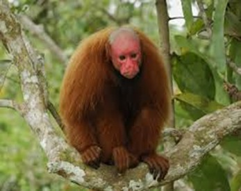Amazing Pictures of Animals, photo, Nature, exotic, funny, incredibel, Zoo, Cacajao Calvus, Blad Uakari, Primate, Mammals, Alex (7)