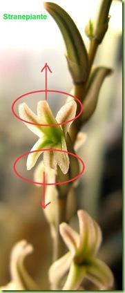 fiore haworthia impollinare