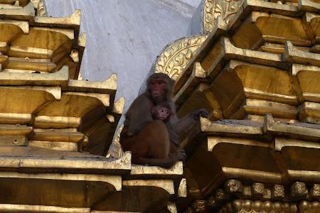 Atractii Nepal: maimute la templul din Kathmandu.JPG