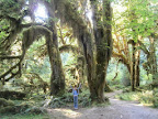 2014_29_CA_OR_WA_Coast_Big_Trip_4 Olympic NP, WAP6210232 Hall of Mosses.JPG