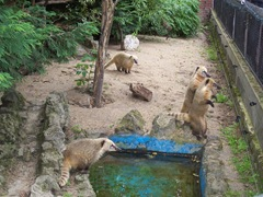 2011.08.07-027 coatis roux