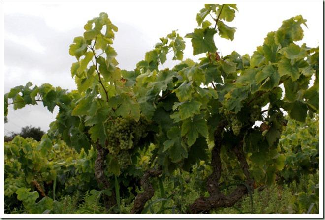 Moderna plantación de viñedos