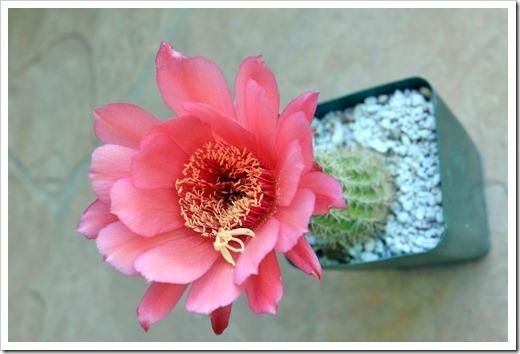 130520_Echinopsis-huascha-rubriflora_01