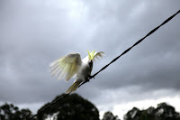 Cockatoo on the power line