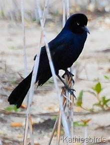 DSC_0095 BT grackle-kab