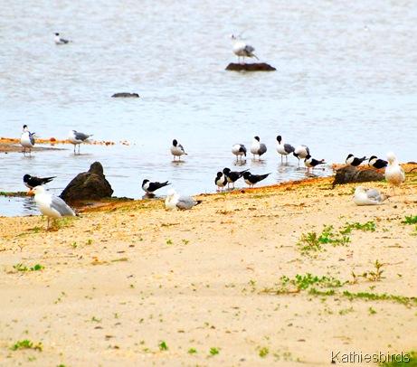 gulls and skimmers-kathiesbirds