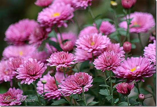 Chrysanthemum_Amythest
