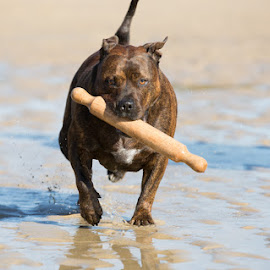 My Stick by Paul Rutherford - Animals - Dogs Playing