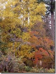 benmore autumn trees