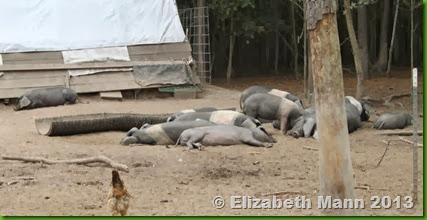 23-lazy pigs