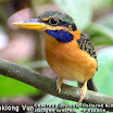 Cestnut-collared kingfisher-01.jpg