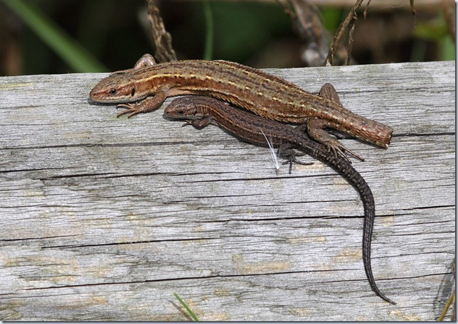 common_lizards