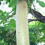 Die Früchte des Sausage-Trees sehen tatsächlich wie eine Wurst aus. © Foto: Jens Döring | Outback Africa Erlebnisreisen