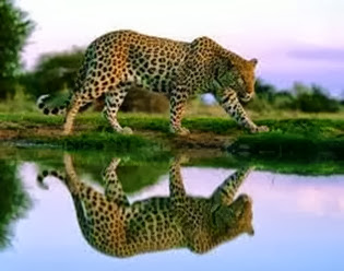 Amazing Pictures of Animals, Photo, Nature, Incredibel, Funny, Zoo, Leopard,Panthera pardus, Mammals, Carnivora, Alex (11)