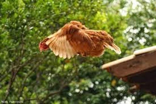 5- Voo de uma galinha