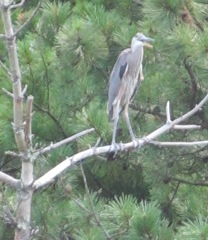 great blue heron 7.30.13 parent bird on branch mouth open