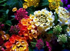 flower variety