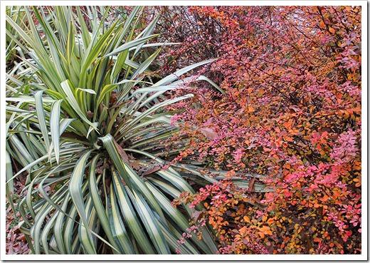 111127_Yucca-Margaritaville Berberis-thunbergii-Rose-Glow
