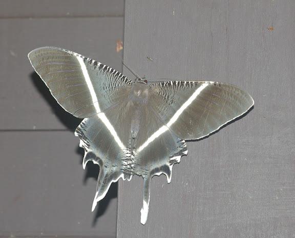 Uraniidae : Lyssa menoetius HOPFFER, 1856. Sepilok, 10 août 2011. Photo : J.-M. Gayman
