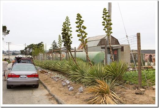 120928_SucculentGardens_Agave-sisalana-variegata