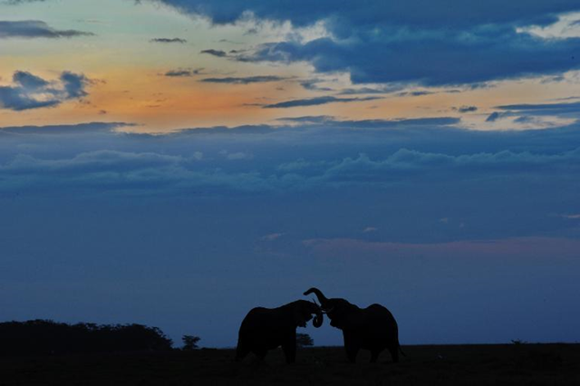 Elephants are seen at sunset on 7 October 2013 at Amboseli National Park, approximately 220 kms southeast of Nairobi. Photo: Tony Karumba / AFP