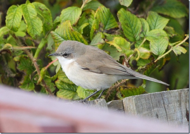 eastern_lesser_whitethroat