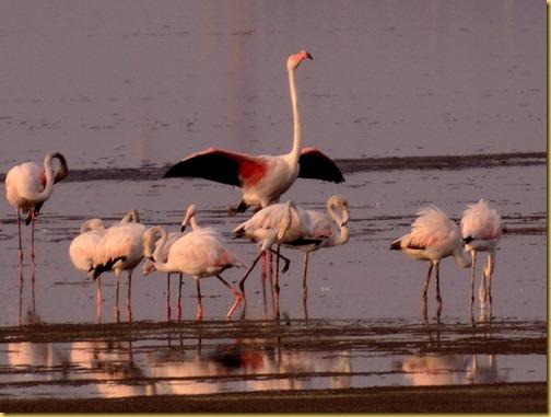 flamingos chennai photo, flamingos chennai pallikarnai marshes photo