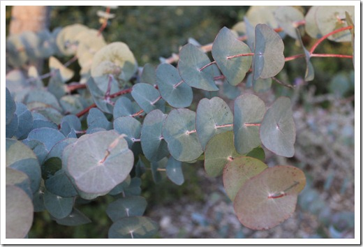 130119_UCDA_AustralianCollection_Eucalyptus-perriniana_03